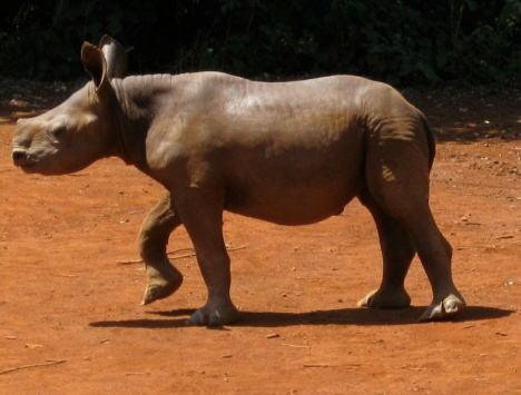 babay rhino