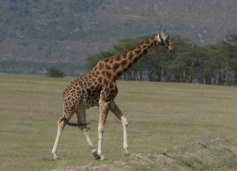 Girafcross