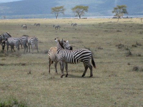 Zebra buds